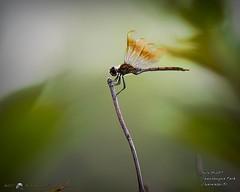 2017-07-03_dragonfly,Chautauqua Park_P7030737