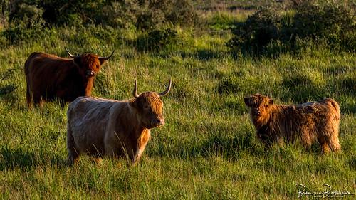 Highland cattle in evening light
