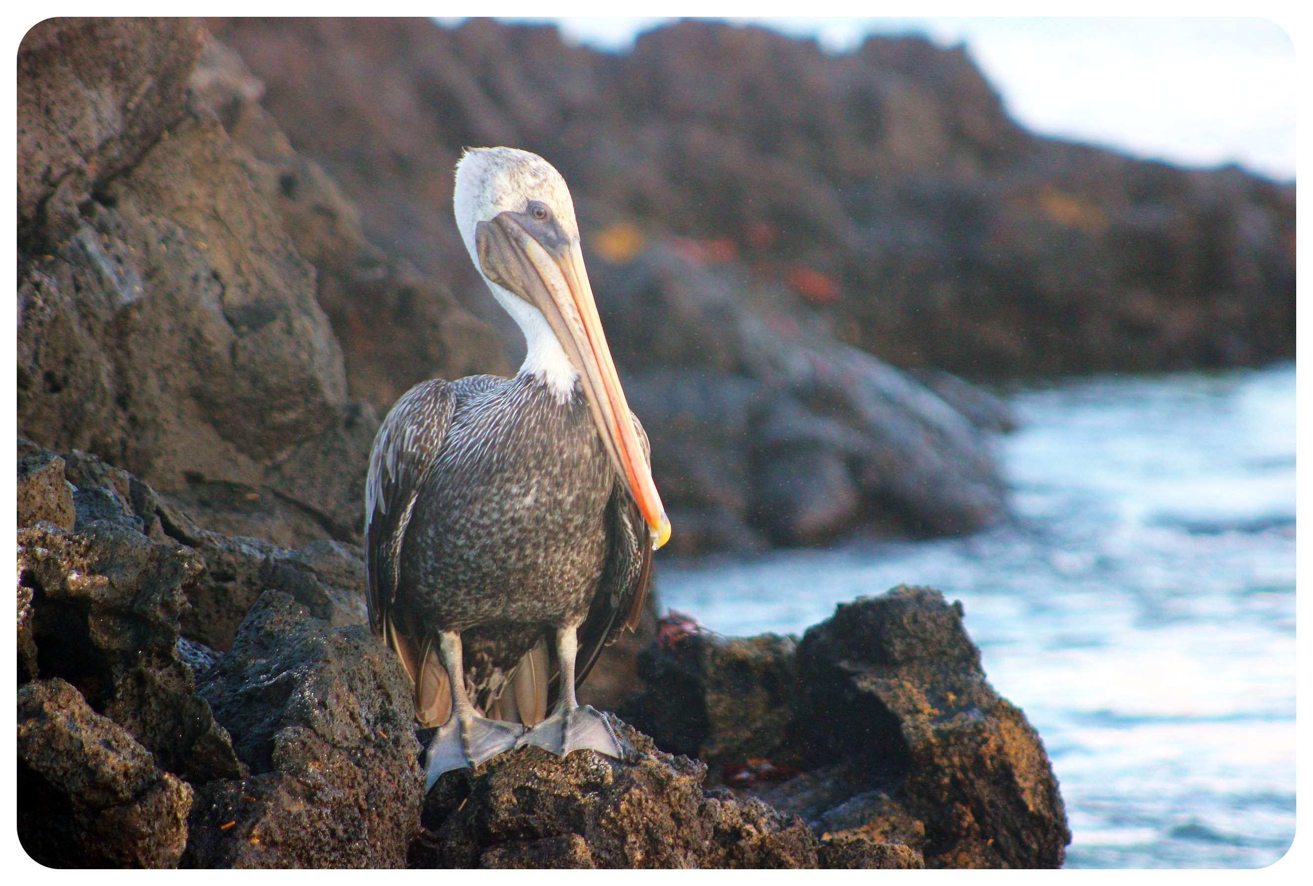 galapagos islands pelican