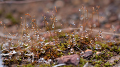 Moss raindrops
