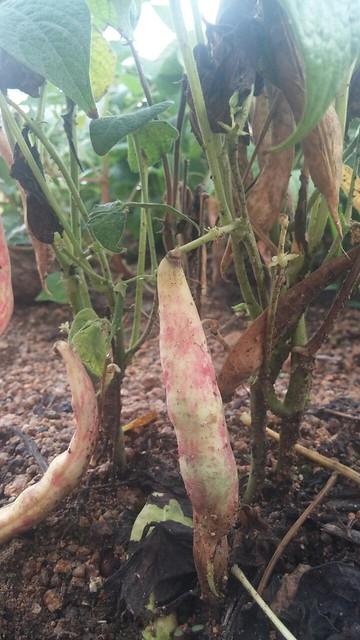 정중동 아침풍경 | 콩밭