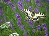 vlinderoplavendel