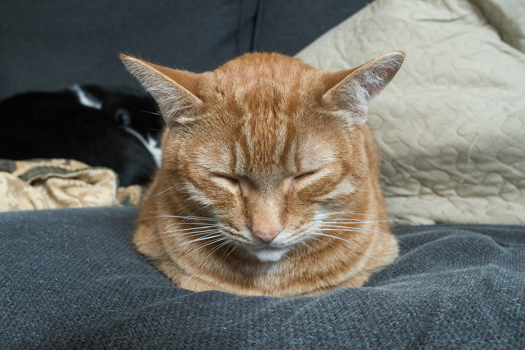 Our cat Sam, an orange tabby, sleeps on my love seat