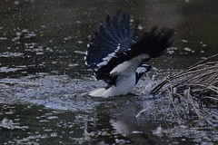 Magpie - lark ( and a quick dip )