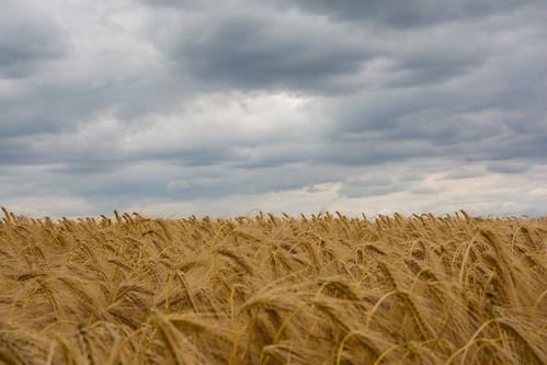 2017 feluy belgique belgium hainaut céréales cereals field champ wheat blé paysage landscape