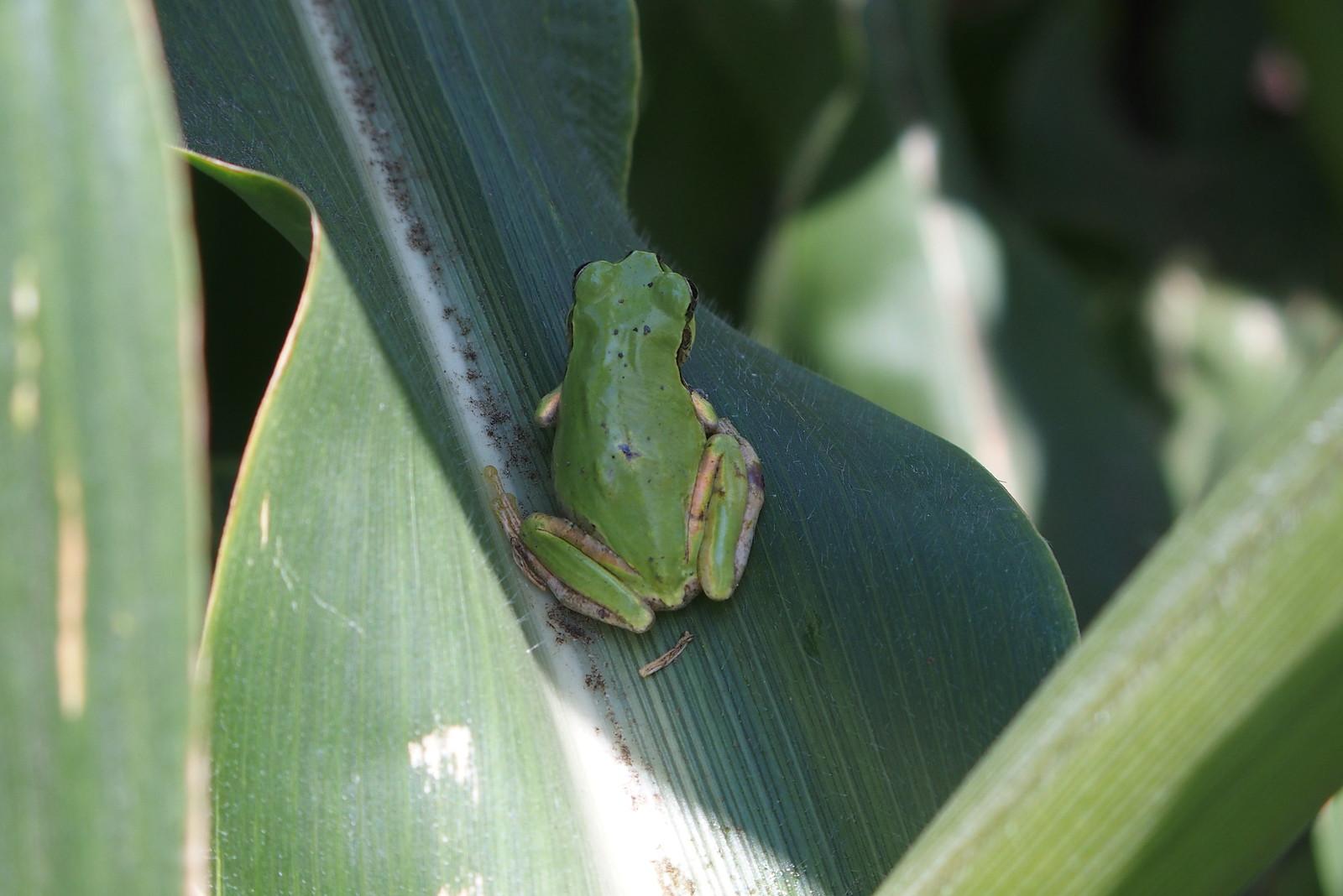 トウモロコシ畑の雨蛙