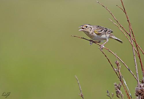 grasshoppersparrow grassland grass sparrow bird rare massachusetts norfolk june 2017