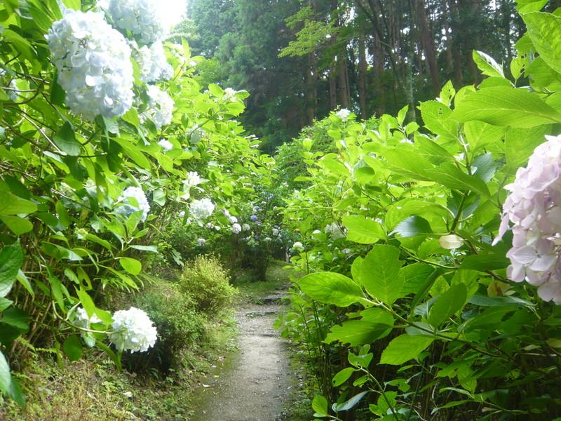 岩船寺の紫陽花 あじさい アジサイ gansenji hydrangea