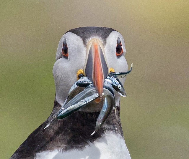 Atlantic Puffin (Fratercula arctica) with Sand Eels