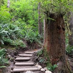 #oldgrowth #stump #snag #steps #trail #hiking #PNW #statepark