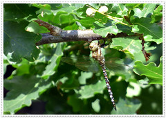 Dragonfly.  (Southern Hawker)