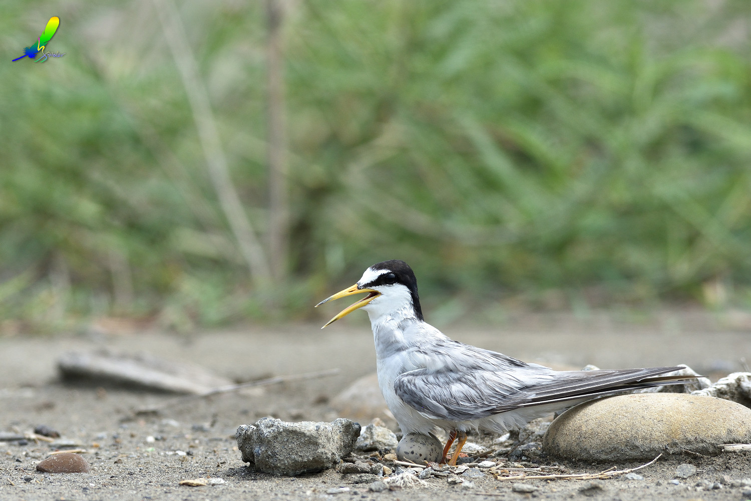 Little_Tern_6299