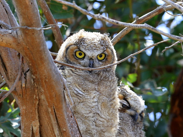 Great Horned Owl juvenile, Canon EOS 7D MARK II, Canon EF 300mm f/2.8L IS II USM