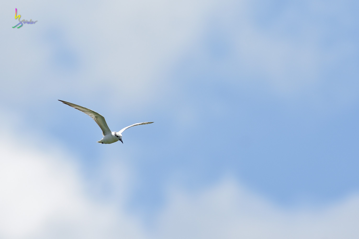 Whiskered_Tern_5020