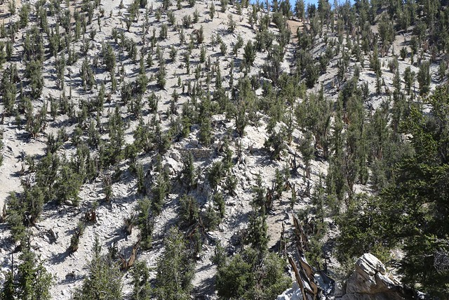 2708 Looking back at the pure white dolomite ridge where the oldest of the Ancient Bristlecone Pines live