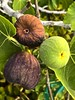 Mission Or Brown Turkey Fig Harvest Today