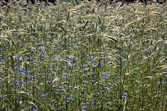 cornflowers and grass