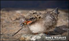 Arctic Tern 062517-6399-W.jpg