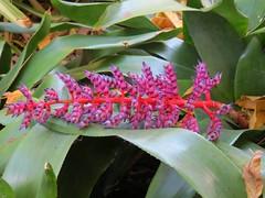 Aechmea fendleri x Aechmea dichlamydea var. trinitensis