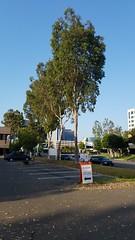 Quakers and Eucalyptus