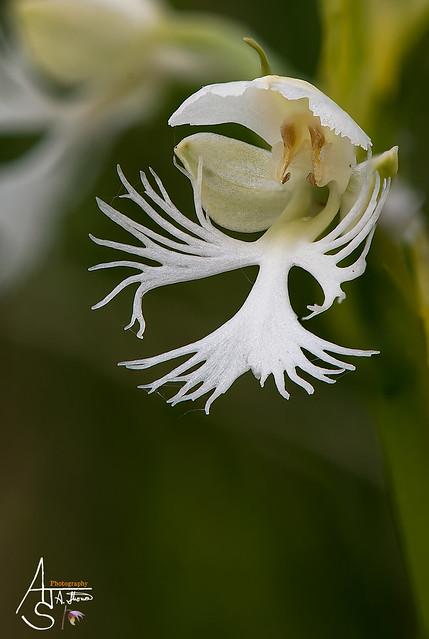 eastern prairie fringed, platanthera leucophaea