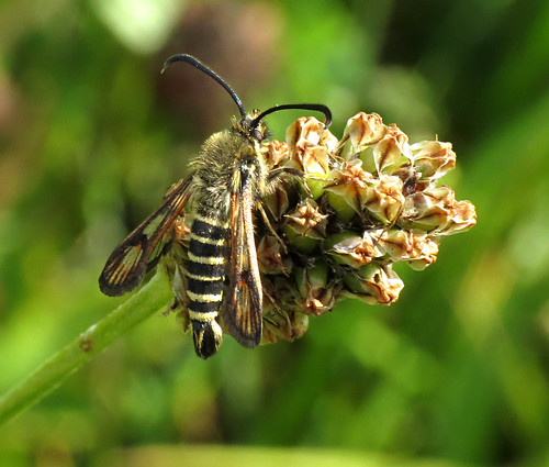 Six-belted Clearwing Bembecia ichneumoniformis Tophill Low NR, East Yorkshire July 2017