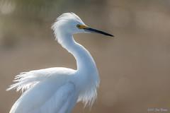 Snowy Egret (Egretta thula) - Pond E - San Joaquin Wildlife Sanctuary