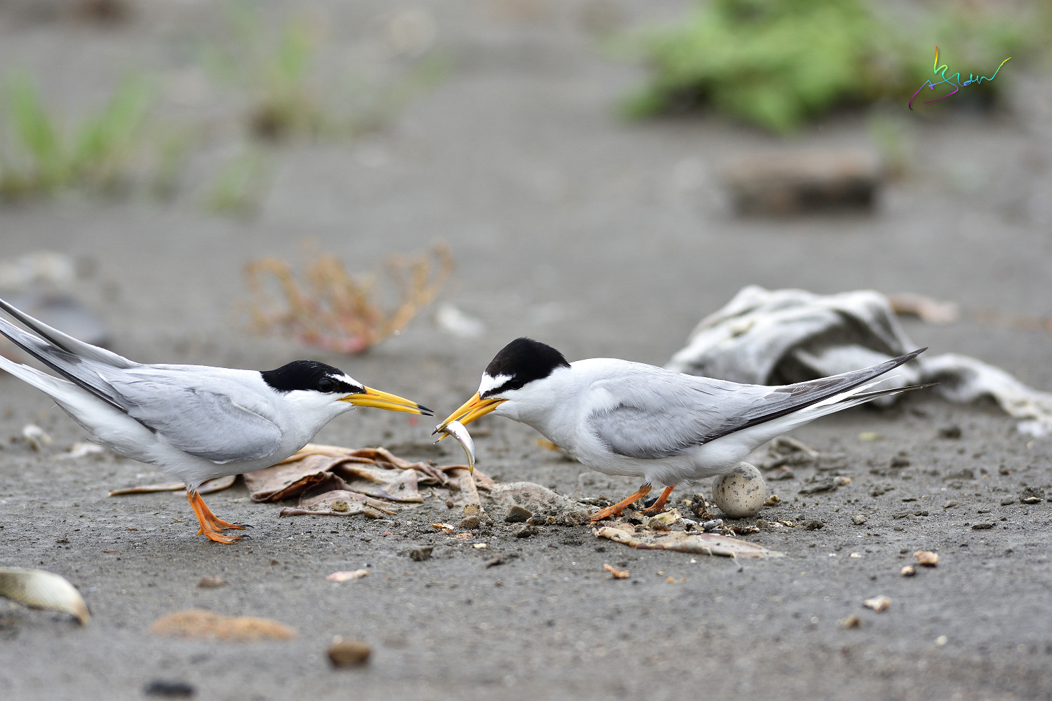 Little_Tern_4250