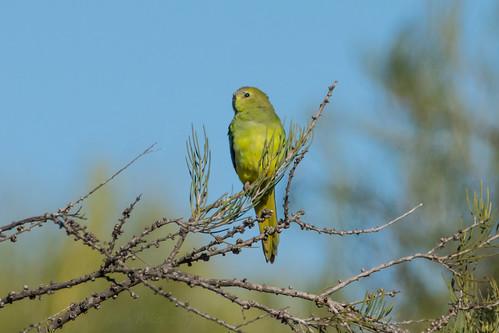 Elegant Parrot (Neophema elegans)
