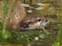 HolderAsian Short-clawed Otter