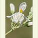 Moringa oleifera por J. Amorin