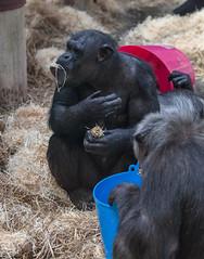 Chimpanzee Monkey World 8th April 2017 #2