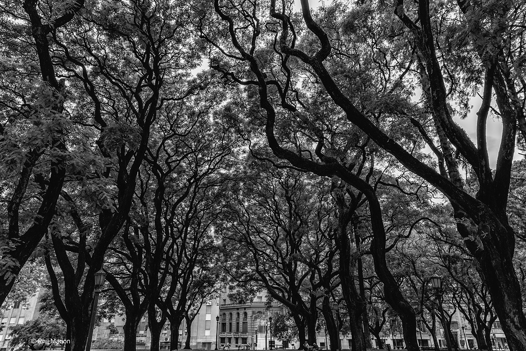 Trees in Plaza San Martin, Buenos Aires