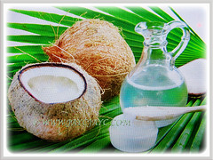 Quenching drink from inside the coconut of Cocos nucifera (Coconut Palm Tree, Malayan Coconut Palm, Green Malayan Palm), 3 July 2017