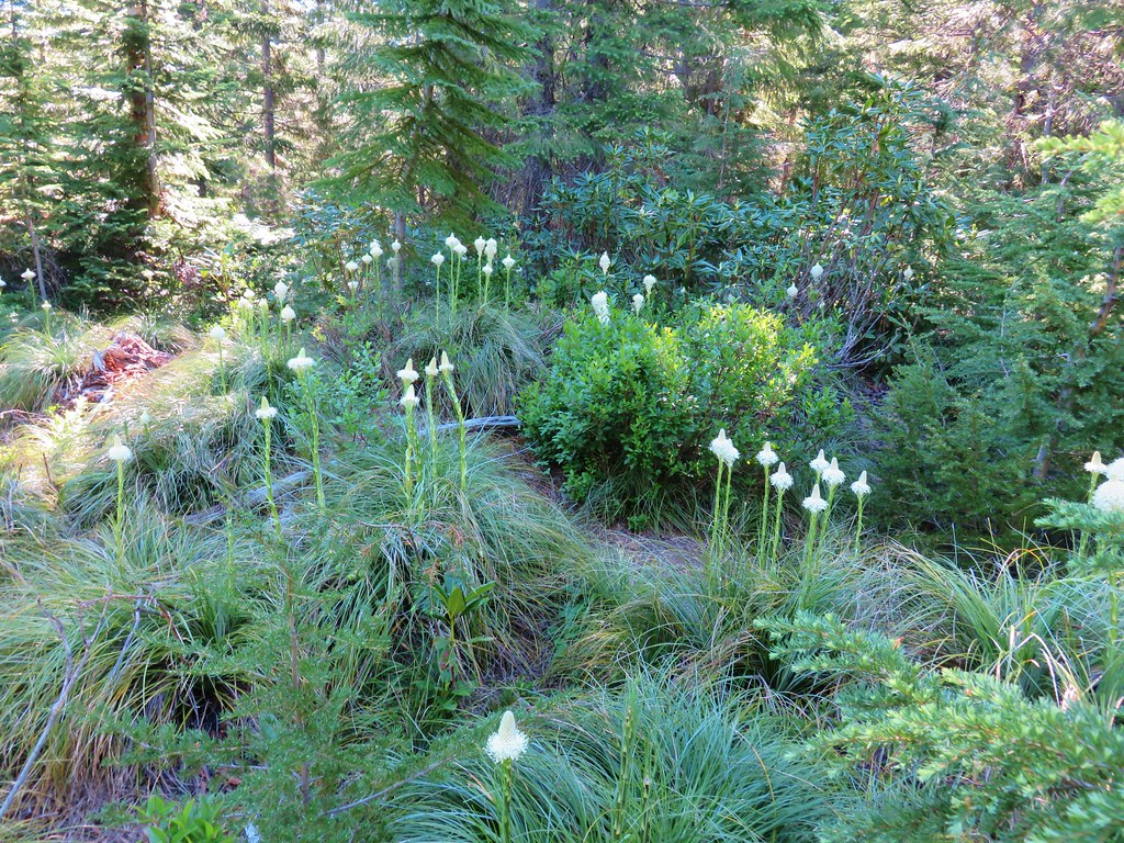 Beargrass near Graham Pass