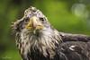 TRC Eagle 5