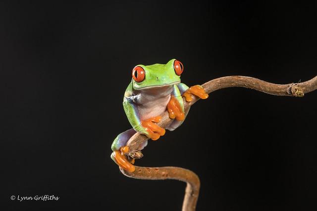 Red-eyed tree frog D50_8135.jpg