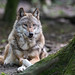 Gray Wolf - Photo (c) The Wasp Factory, some rights reserved (CC BY-NC-SA)