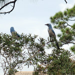 endangered-scrub-jays-e1359497287518