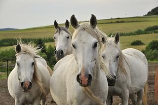 Arabian gang