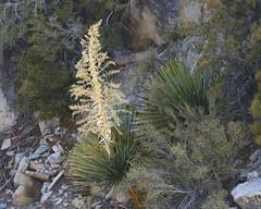 Parry's Nolina (Nolina parryi), Mount San Jacinto, CA, 7-1-17