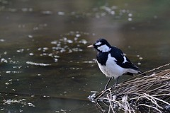 Magpie - lark ( He is just hoping the water is warm.)