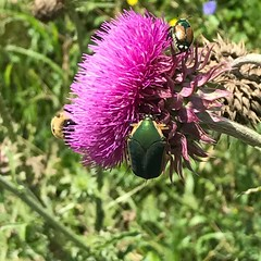 June bug , Japanese beetle and Bumble bee all enjoying a thistle weed