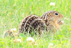 thirteen-lined ground squirrel near Vernon Springs IA 854A2980