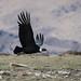 Andean Condor (Tim Melling)