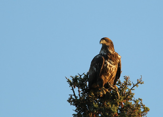 Immature Bald Eagle...#2