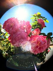 Rose de mon papa
