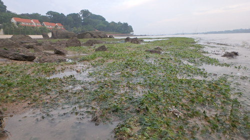 Seagrass meadows at Changi Creek