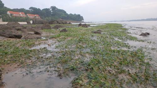 Seagrass meadows at Changi Creek