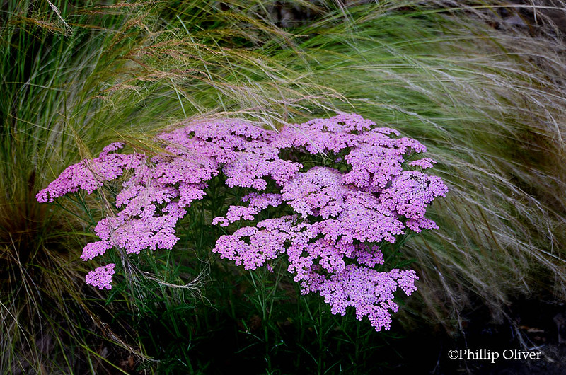 Achillea 'Song Siren Little Susie' and Mexican Feather Grass (Nassella tenuissimaand)